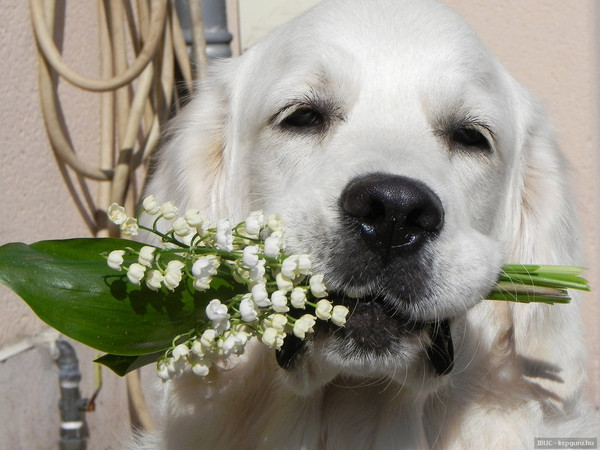Un beau chien vous apporte des brins de muguet