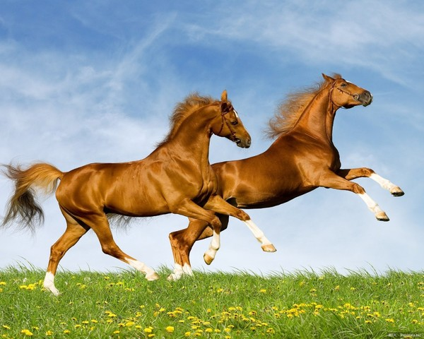Fonds ecran chevaux - Chevaux gratuits ...